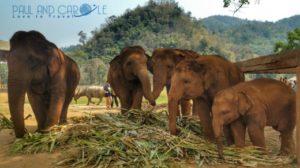 elephant exploitation chiang mai thailand