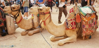Visiting Petra Jordan,a pair of camels take a rest between rides#petra #wondersoftheworld #roseredcity #jordan #visitingpetra #paulandcarole